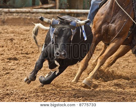 Steer roping at rodeo