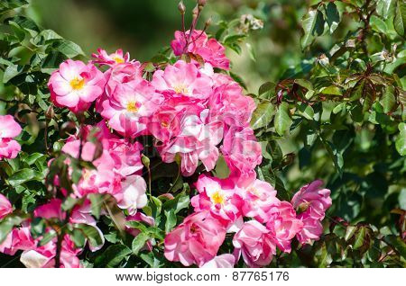 Roses. Nikita Botanical Garden. Crimea, Yalta.