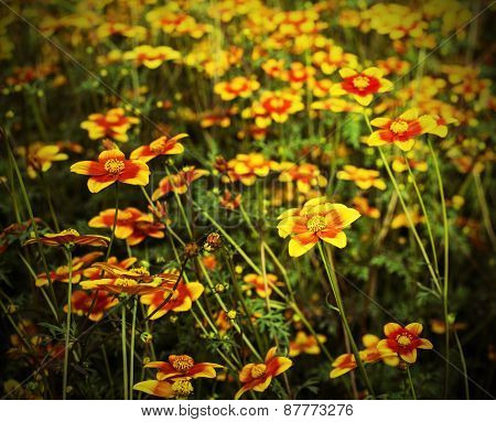Great Field Of Flowers Called Bidens In Spring