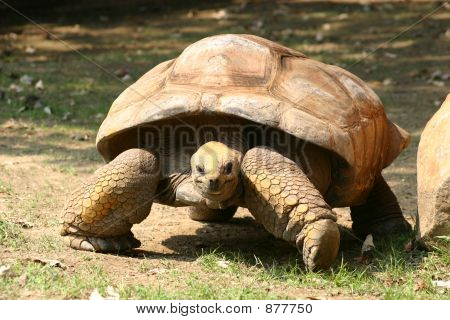 Slow Moving Tortoise