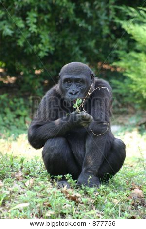 Eating Ape