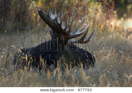 Bull Moose In A Field Of Grass
