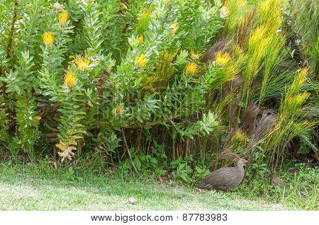 Cape Spurfowl Or Cape Francolin In Kirstenbosch