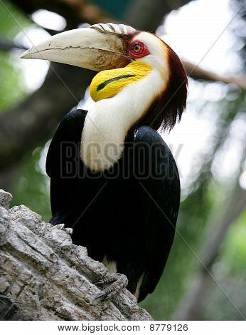 Hornbill On A Branch