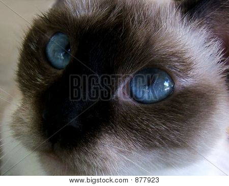 poster of A close up of a pretty Siamese cat
