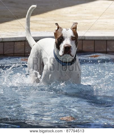 Dog on the top step of a pool