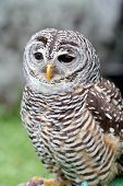 A barred owl Strix varia is looking ahead poster