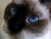 A close up of a pretty Siamese cat poster