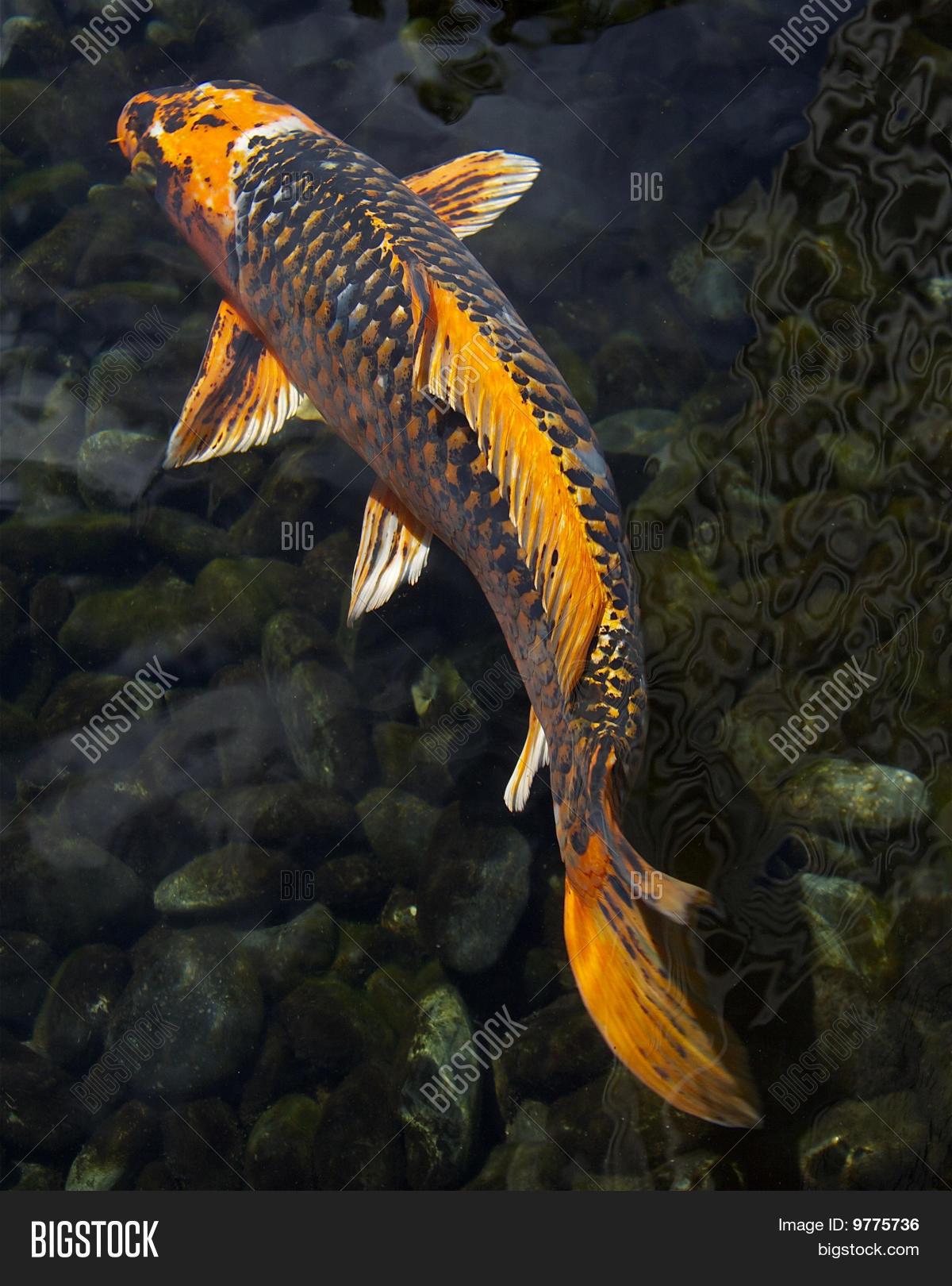 Large orange koi fish image photo free trial bigstock for Carpe koi orange