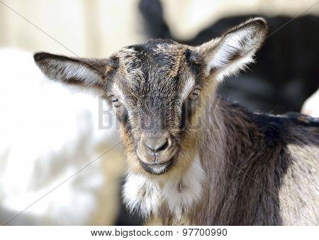 Baby Goat portrait