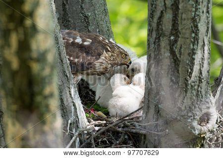 Cooper-s Hawk Feeding Chicks