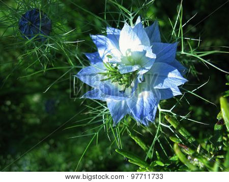 nigella damascene