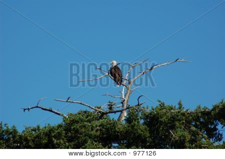 here is a big eagle looking very majestic on his (or her) high purch looking far and wide over his (or her) domain. poster
