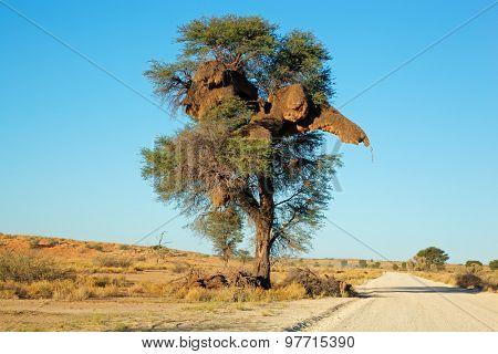 African Acacia tree with communal nest of sociable weavers (Philetairus socius), Kalahari, South Africa