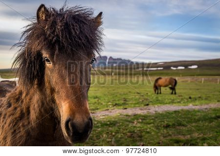Icelandic Horses In Near Husavik