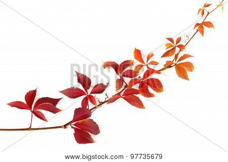 Twig Of Autumnal Grapes Leaves