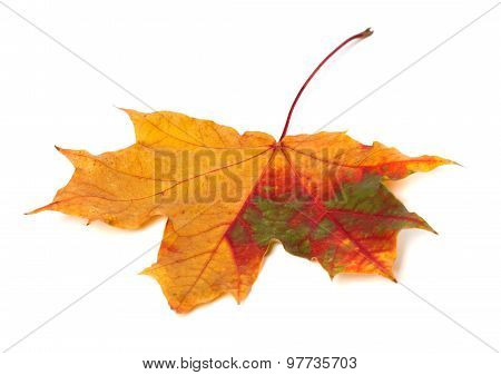 Multicolor Autumn Maple Leaf