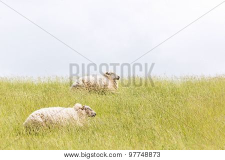 Sheep laying on levee grass