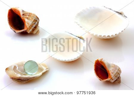 Shells with pearl and Rapana isolated
