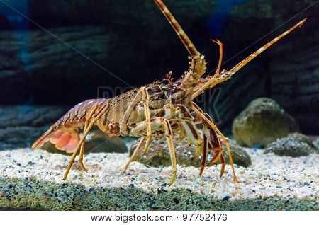 Colourful Tropical Rock lobster under water,