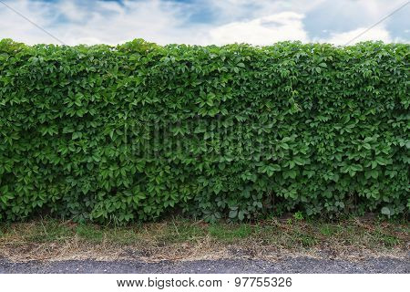 Ideas For Garden - Green Ivy Wall Over Blue Sky
