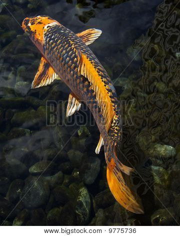 Large Orange Koi Fish