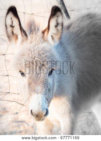 Little Donkey Headstrong