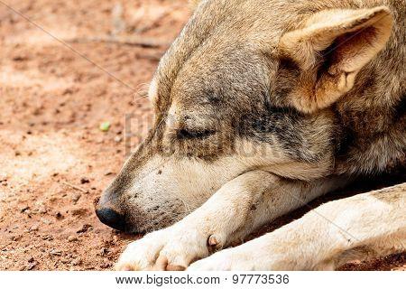 Closeup of Juvenile Dog taking a nap / rest