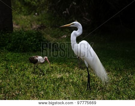 great white egret on a background of green grass and ibis bird and behind