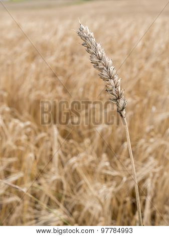 Ripened ear wheat over wheatfield