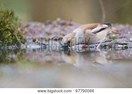 Hawfinch at the ground drinking water