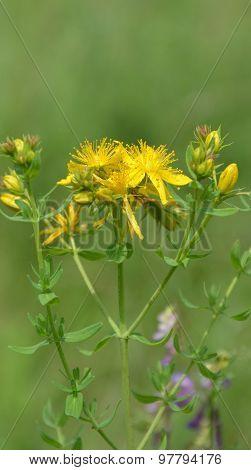 Yellow flowers of hypericum perforatum. St. john's worth