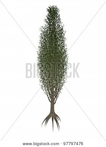 Lombardy or black poplar, populus nigra tree - 3D render