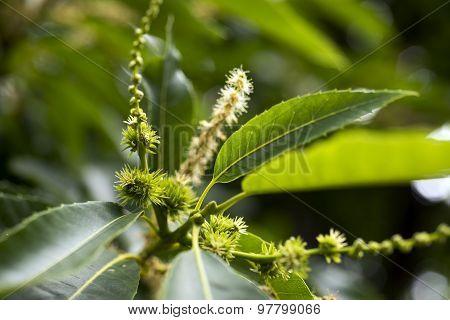Sweet Chestnut (castanea Sativa)
