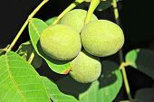 Walnut tree (Juglans regia) branch with fruit poster