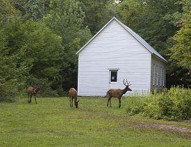 Elk Grazing Around The Historic Beech Grove School Built In 1903