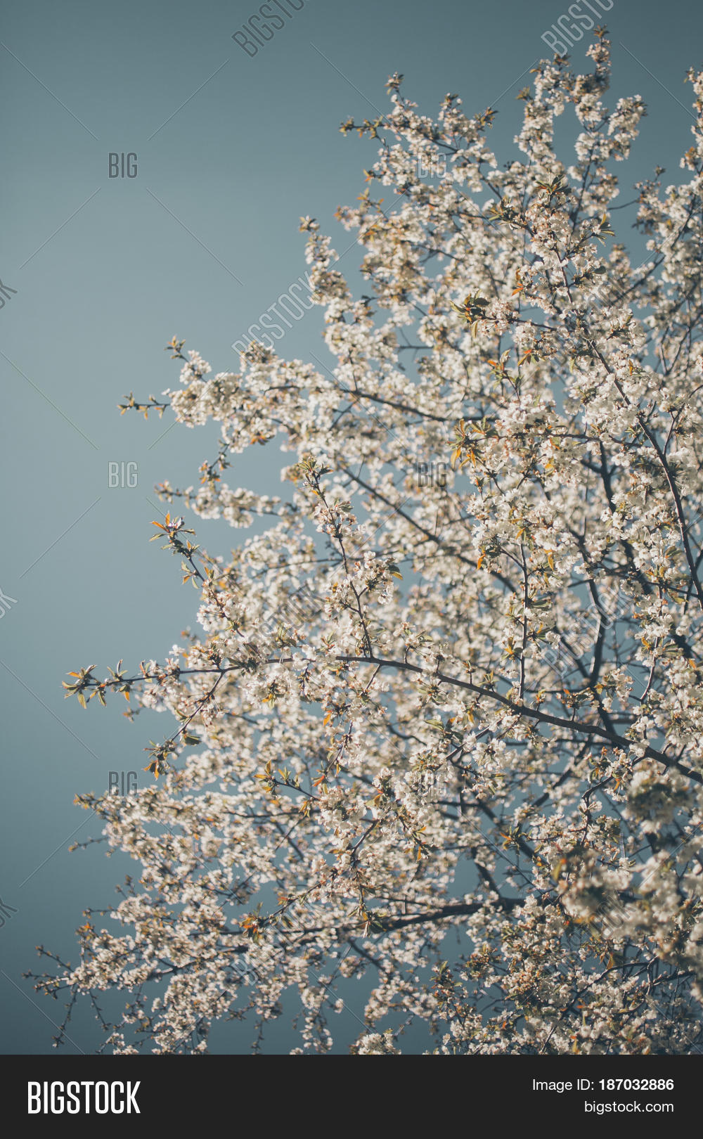 almond trees blooming image photo free trial bigstock