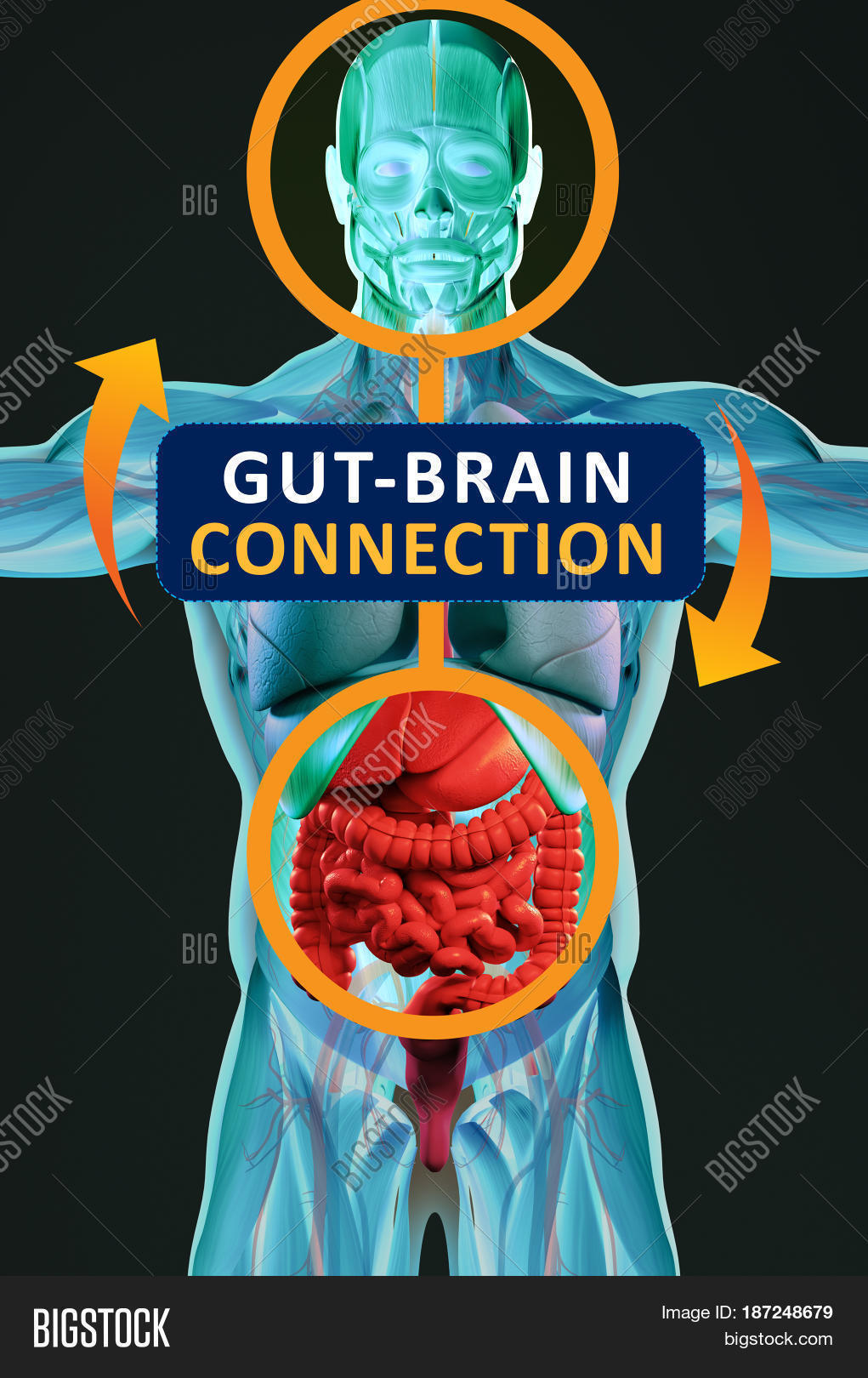 Gut Brain Connection >> Gut Brain Connection Image Photo Free Trial Bigstock