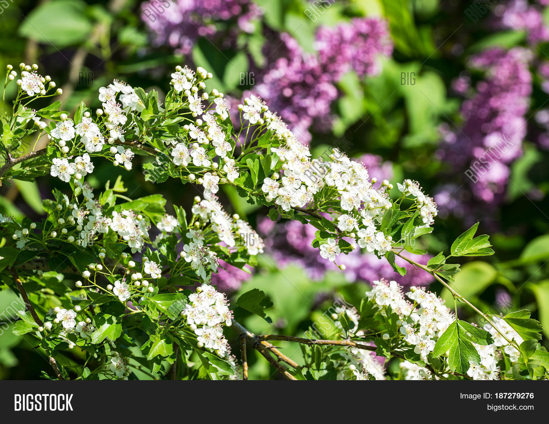 Spiraea small white image photo free trial bigstock spiraea with small white flowers meadowsweet flowerswhite spiraea cantoniensis spring flowers mightylinksfo