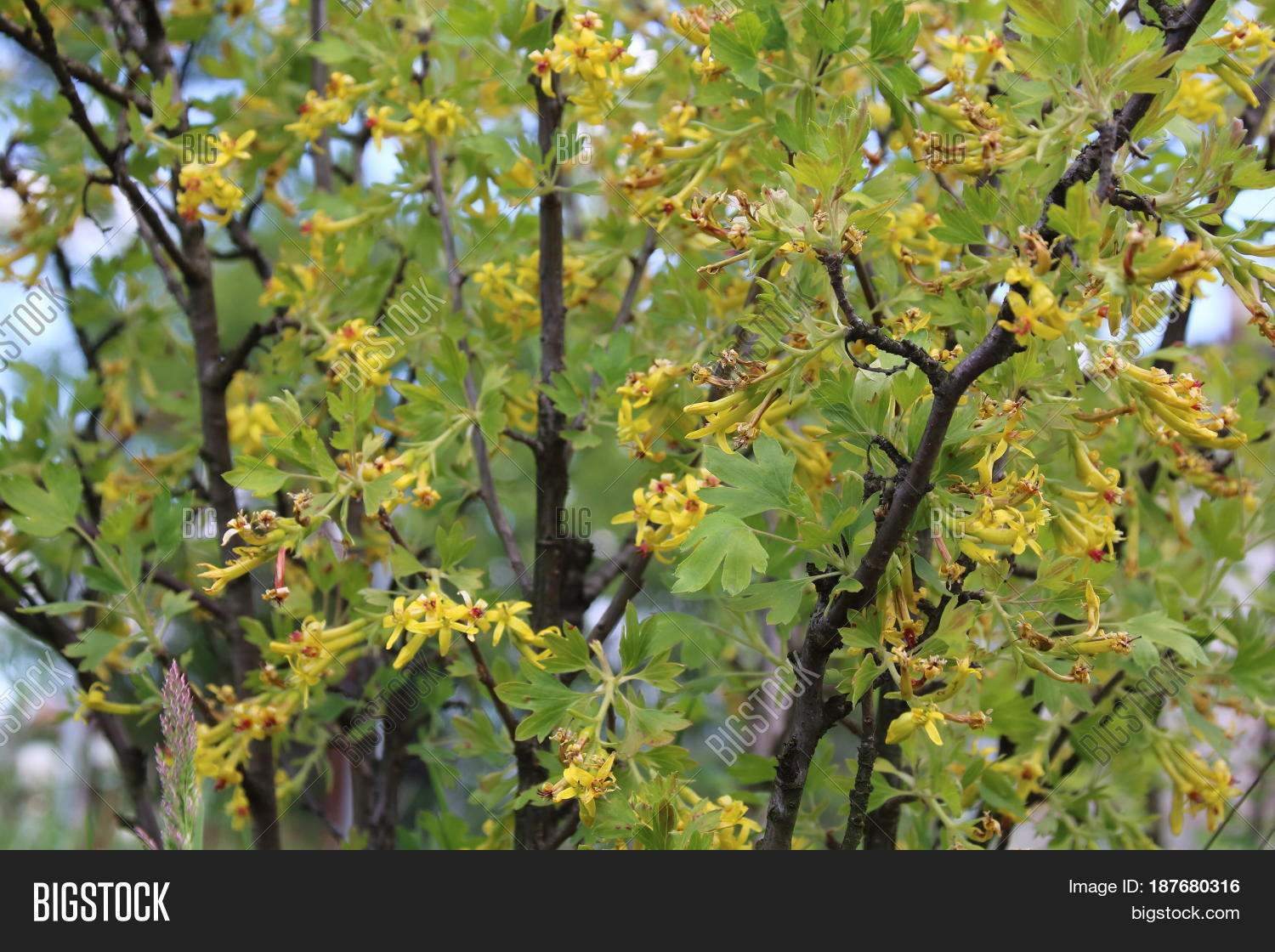 Jostaberry Bush Yellow Image Photo Free Trial Bigstock