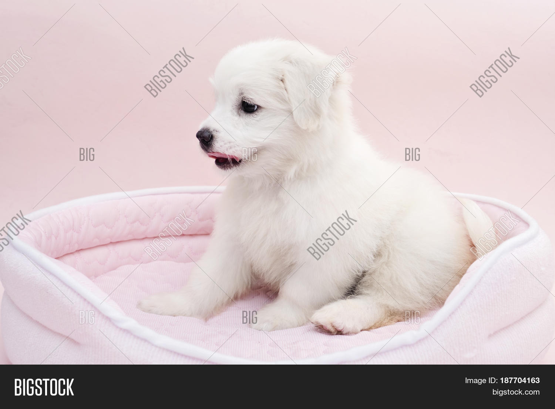 Maltese Puppy On Image Photo Free Trial Bigstock