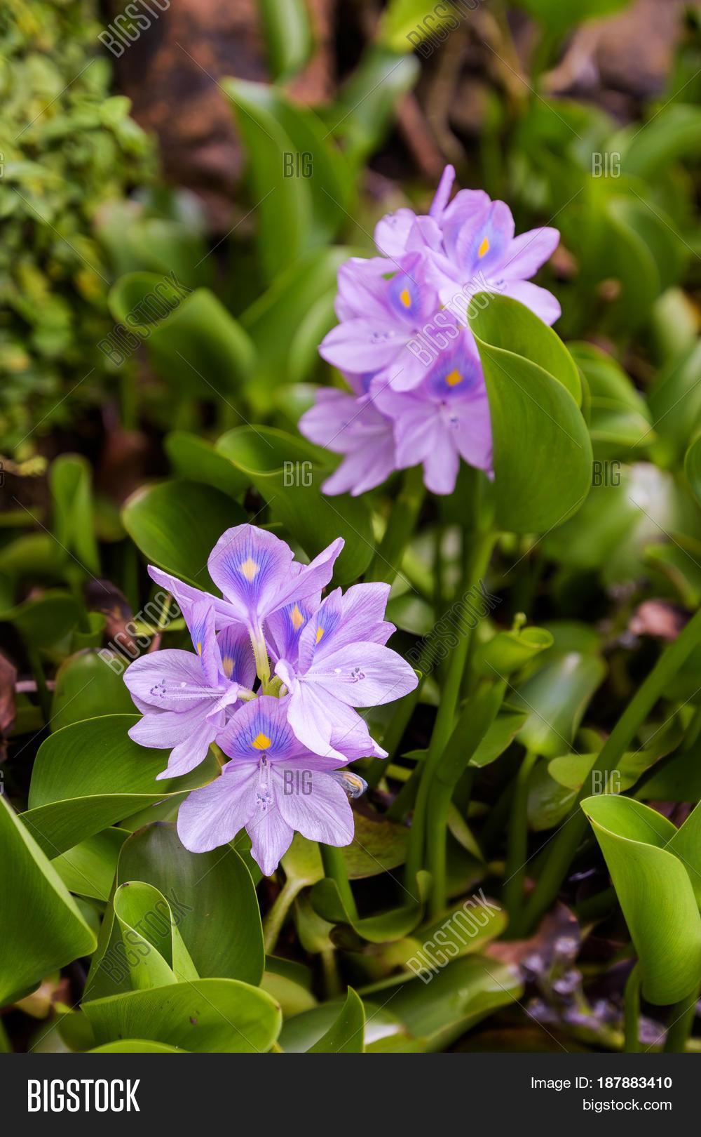 Water Hyacinth Weeds Image Photo Free Trial Bigstock