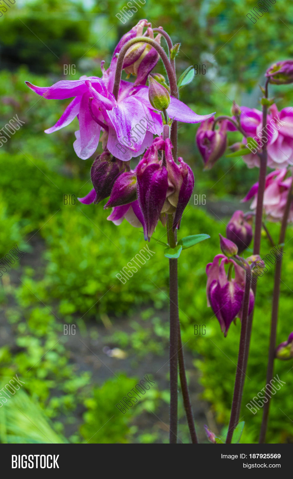 Columbine Flower On Image Photo Free Trial Bigstock