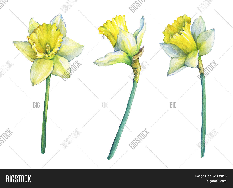 Narcissus Common Image Photo Free Trial Bigstock