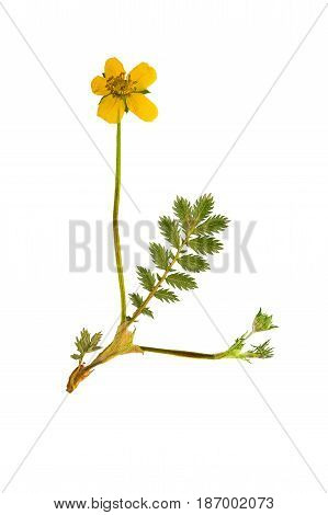 Pressed and dried flower and green carved leaves potentilla anserine isolated on white background. For use in scrapbooking floristry (oshibana) or herbarium.