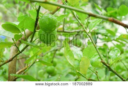 Close up Lime fruit Lime green tree hanging from the branches of it. Lime fruits are the raw materials of food Thailand.
