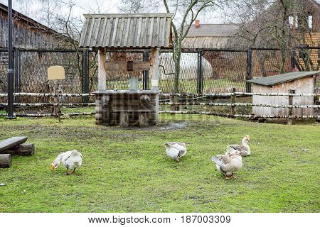 Geese On The Green Lawn