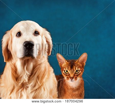 Cat and dog, abyssinian kitten and golden retriever. Sad anxious expression.