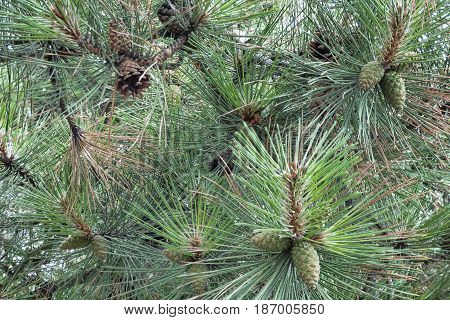 Green and brown cones on a branch among the pine needles. Natural background. New year tree macro shot. Selected focus.