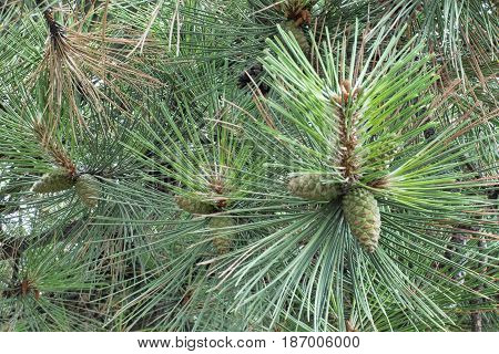 Green cones on a branch among the pine needles. Natural background. New year tree macro shot. Selected focus.